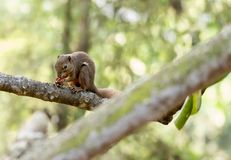 horizontal cropped Colored photo of an asian squirrel while eating its food on a tree branch with green nature blurry background royalty free stock photo