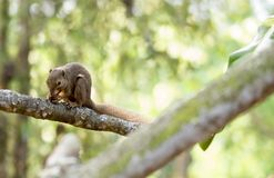 horizontal cropped Colored photo of an asian squirrel while eating its food on a tree branch with green nature blurry background stock image