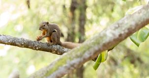 Horizontal cropped Colored photo of an asian squirrel while hold stock photography