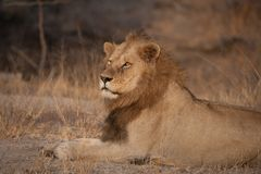 A male lion resting in sunshine. A horizontal, cropped, colour photograph of a male lion, Panthera leo, lying in golden light in dry grass and soil, amber eyes Royalty Free Stock Photography