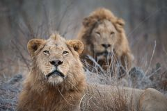 Two large male lions looking at the camera. A horizontal, cropped, colour photograph of two large golden maned male lions, Panthera leo, gazing intently Royalty Free Stock Photo