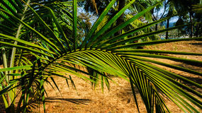 Horizontal curved palm tree Royalty Free Stock Photos