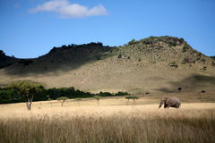 Horizontal d'éléphant marchant par l'herbe Image stock