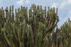 Horizontal d'arbres d'aloès Images libres de droits