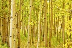 Horizontal d'Aspen de feuillage d'automne du Colorado Photo libre de droits