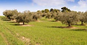 Horizontal d'oliviers Image stock