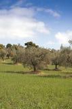 Horizontal d'oliviers Images libres de droits