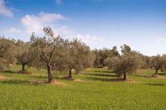 Horizontal d'oliviers Photos libres de droits