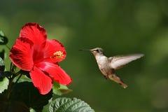 Horizontal de approche de fleur d'oiseau de ronflement images libres de droits