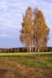 Horizontal de bouleau d'automne photos stock