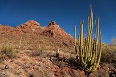 Horizontal de cactus de pipe d'organe Photographie stock libre de droits