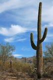Horizontal de désert avec le cactus de Sagauro Photographie stock