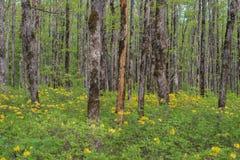 horizontal de forêt de jour ensoleillé Plantation de chêne Photographie stock