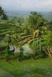 Horizontal de jeunes ricefields arrosés photo libre de droits
