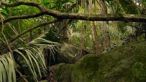Horizontal de jungle Bois exotiques de l'Asie Lianes moussues balançant de l'auvent de forêt tropicale Fond naturel vert banque de vidéos