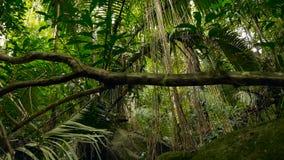 Horizontal de jungle Bois exotiques de l'Asie Lianes moussues balançant de l'auvent de forêt tropicale Fond naturel vert clips vidéos