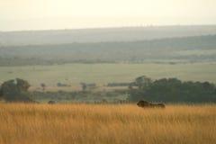 Horizontal de lion Photos libres de droits