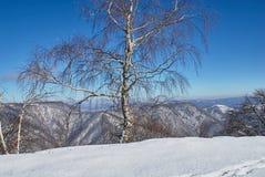 Horizontal de montagne clairière couverte de neige dans le premier plan, bouleau blanc au milieu, forêt et montagnes à l'arrière- photographie stock libre de droits