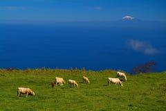 Horizontal de pâturage Image libre de droits