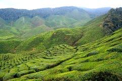 Horizontal de plantation de thé photos libres de droits