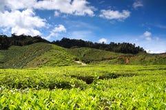 Horizontal de plantation de thé photographie stock