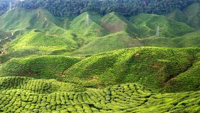 Horizontal de plantation de thé. image libre de droits