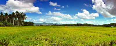 Horizontal de Ricefield Images stock