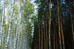 horizontal de for?t de jour ensoleill? Été de forêt de pin et de bouleau images stock