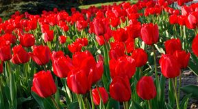 Horizontal de zone de tulipes Images stock