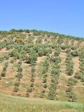 Horizontal espagnol gentil avec le jeune jardin olive Images stock