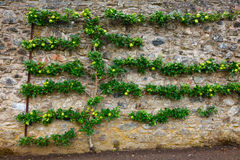 Horizontal espalier apple tree Royalty Free Stock Photo