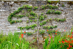 Horizontal espalier pear tree Royalty Free Stock Photos