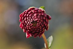Bright red colored unopened dahlia flower and spider silk thread stock images