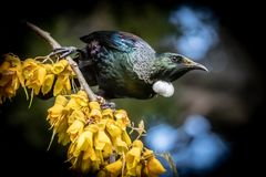 New Zealand native songbird the Tui in native kowhai tree sucking nectar from bright yellow spring flowers. Horizontal format colour image of New Zealand native stock photos