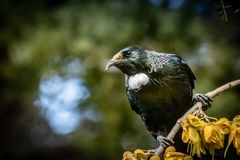 New Zealand native songbird the Tui in native kowhai tree sucking nectar from bright yellow spring flowers. Horizontal format colour image of New Zealand native royalty free stock image