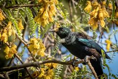 New Zealand native songbird the Tui in native kowhai tree sucking nectar from bright yellow spring flowers. Horizontal format colour image of New Zealand native stock image