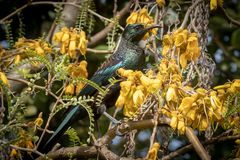 New Zealand native songbird the Tui in native kowhai tree sucking nectar from bright yellow spring flowers. Horizontal format colour image of New Zealand native royalty free stock images
