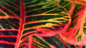 A horizontal frame of a colorful croton leaves . Royalty Free Stock Photos
