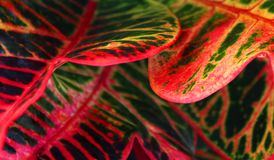 Horizontal frame of a colorful croton leaves . Royalty Free Stock Image