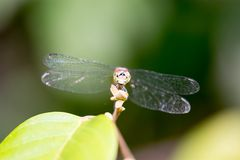 Horizontal full length Colored close up photo of a dragon fly he Royalty Free Stock Images