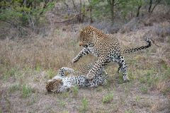 A mating pair of leopards tussling. A horizontal, full length, colour photograph of a mating pair of leopards, Panthera pardus, fighting in the Greater Kruger Royalty Free Stock Images