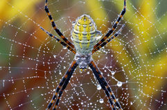 Horizontal Garden Spider Macro Stock Photos