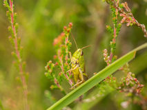 Horizontal of green grasshopper on heather in bloom Royalty Free Stock Photo