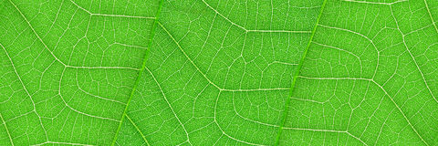 horizontal green leaf texture for pattern and background Stock Photo