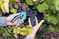 Horizontal Harvesting Secateurs Hands Man Grape Syrah Stock Photos