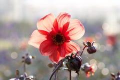 Dahlia flower with sunlight shining through stock photography