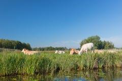 Horizontal hollandais avec des vaches Photos libres de droits