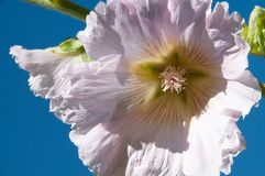 Horizontal of hollyhock flower in the style of Georgia O`Keeffe royalty free stock photo