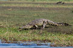 Horizontal huge male crocodile Stock Photography