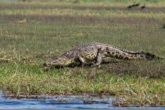 Horizontal huge male crocodile Stock Photography
